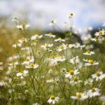 welsummer daisies nk